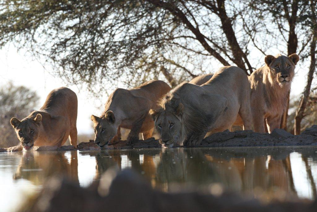 Picture of lions taken from the underground Hide