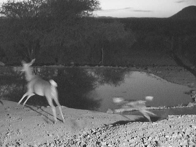 Wild Dog Chasing Kudu across the underground hide