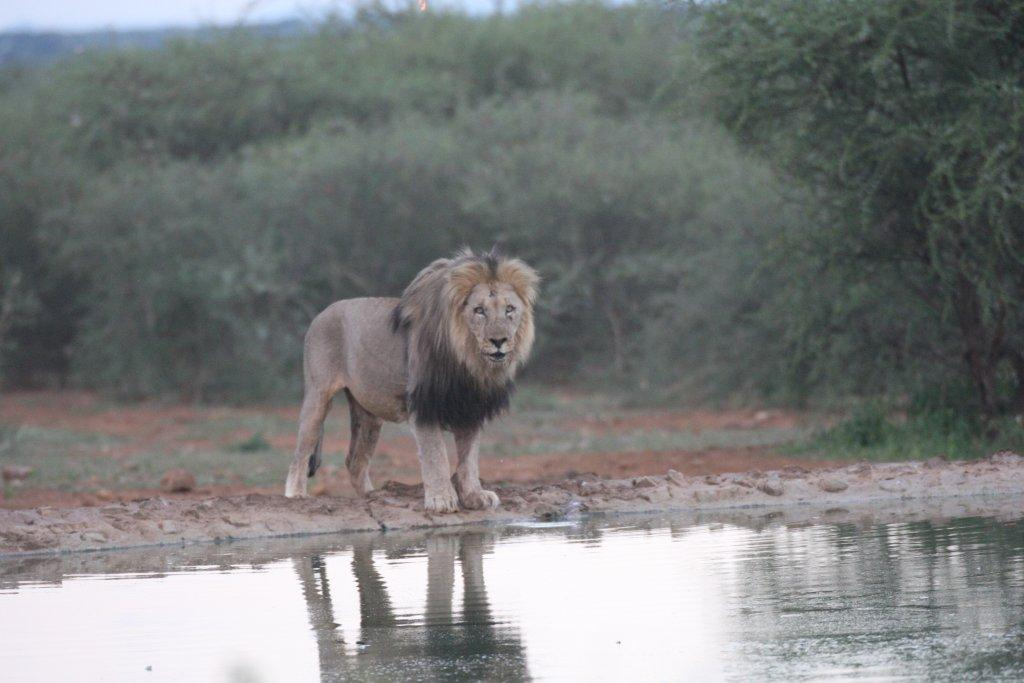 Lion in for a drink