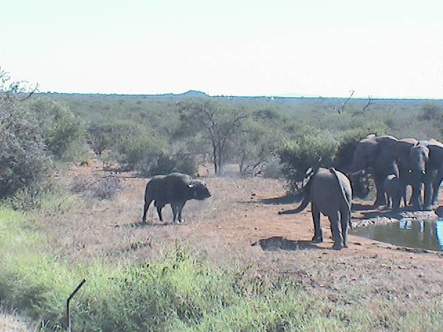 elephants checking out dagga boy