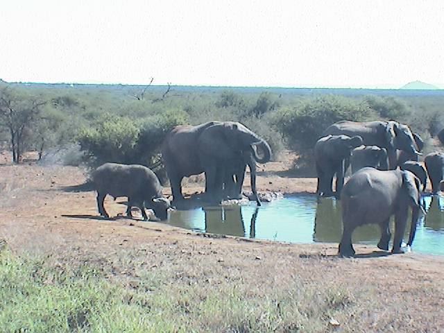 elephants dagga boy drinking