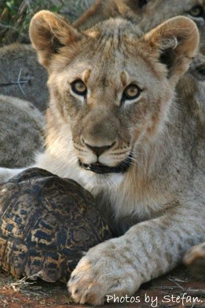 Lion cub with tortoise